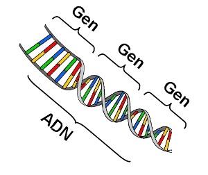 ADN-Gen